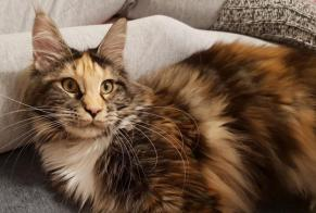 Disappearance alert Cat  Female , 2 years Habscht Luxembourg