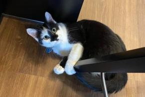 Disappearance alert Cat  Female , 1 years Contern Luxembourg